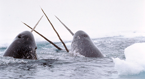 This is not the narwhal of which we speak.